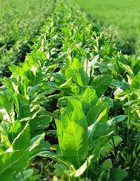 Coltivazione di tabacco in Sardegna