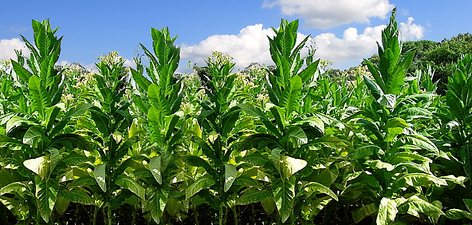 We select the best harvests of Italian tobacco, because every seed has its own origin.